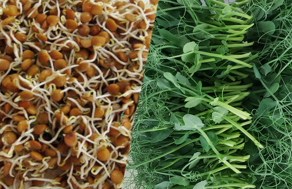 microgreens vs sprouts