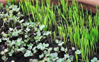 microgreen-farming